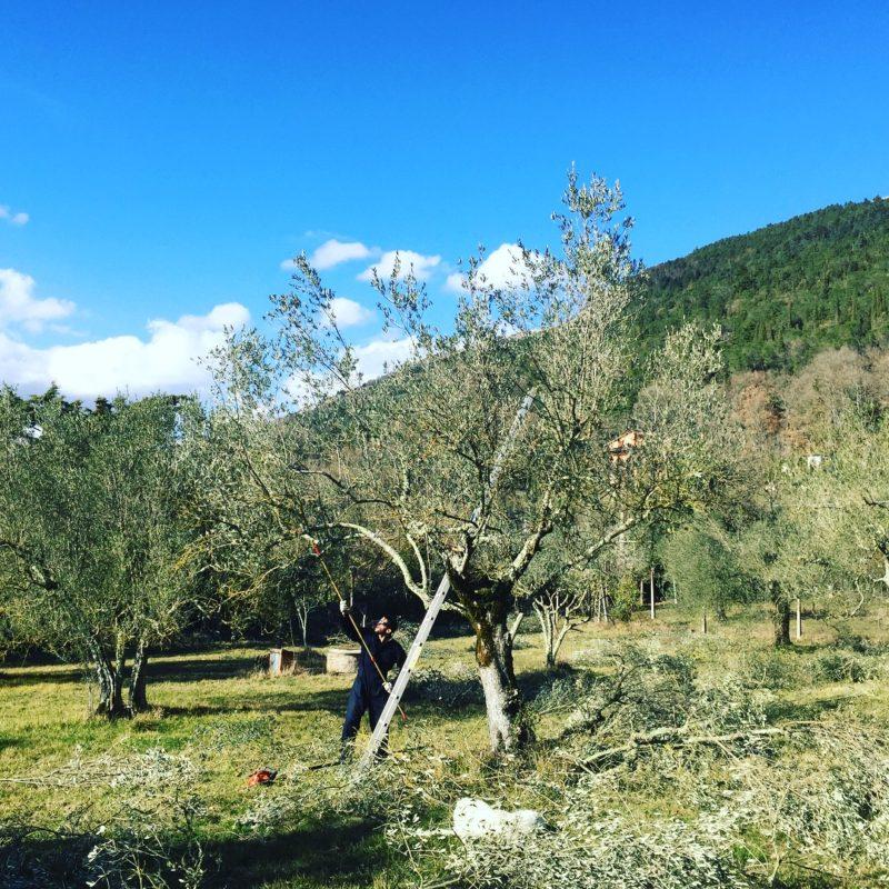 Villaggio-Nativo-olio-extravergine-raccolta-olive